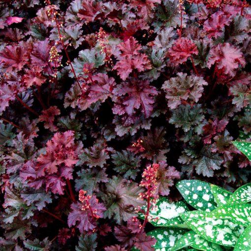 Heuchera 'Purple Petticoats'