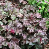 Heuchera 'Purple Petticoats'