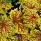 Heuchera 'Red Lightning'