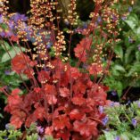 Heuchera 'Root Beer'