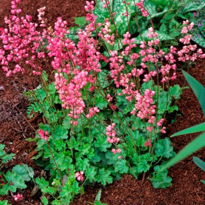 Heuchera 'Strawberry Candy'