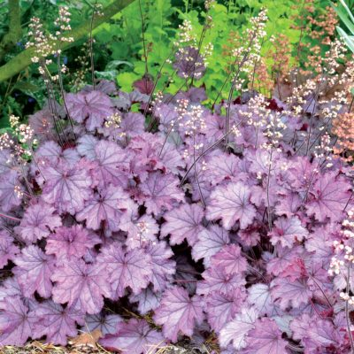 Heuchera LITTLE CUTIES™ 'Sugar Berry'