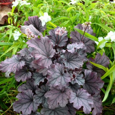 Heuchera 'Sugar Berry'
