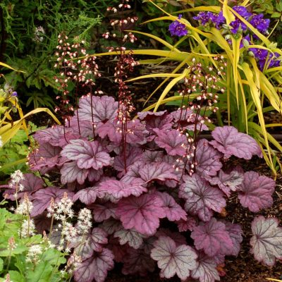 Heuchera 'Sugar Plum'