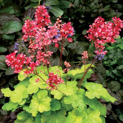 Heuchera LITTLE CUTIES™ 'Sweet Tart'
