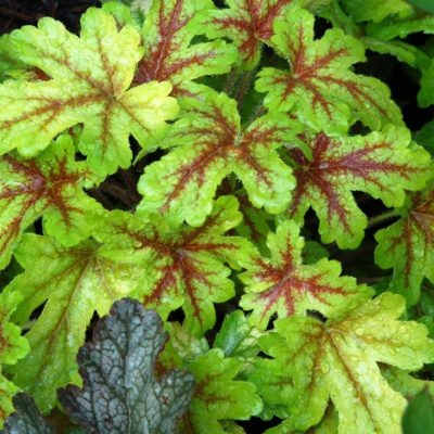 Heucherella 'Alabama Sunrise'