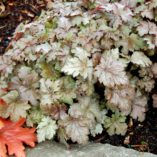 Heucherella 'Birthday Cake'