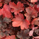 Heucherella 'Burnished Bronze'