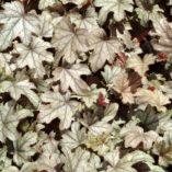 Heucherella 'Chocolate Lace'