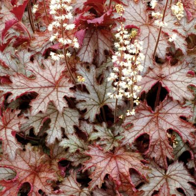 Heucherella 'Cracked Ice'