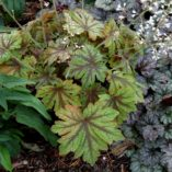 Heucherella 'Fan Dancer'