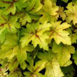 Heucherella 'Goldstrike'