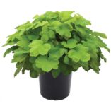 Heucherella HAPPY HOUR™ Lime