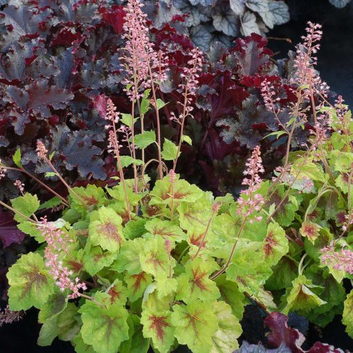 Heucherella 'Hot Spot'