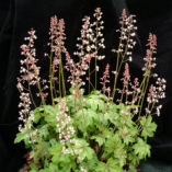 Heucherella 'Pink Whisper'