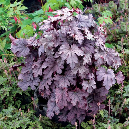 Heucherella 'Plum Cascade'