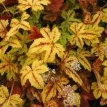 Heucherella 'Sunrise Falls'