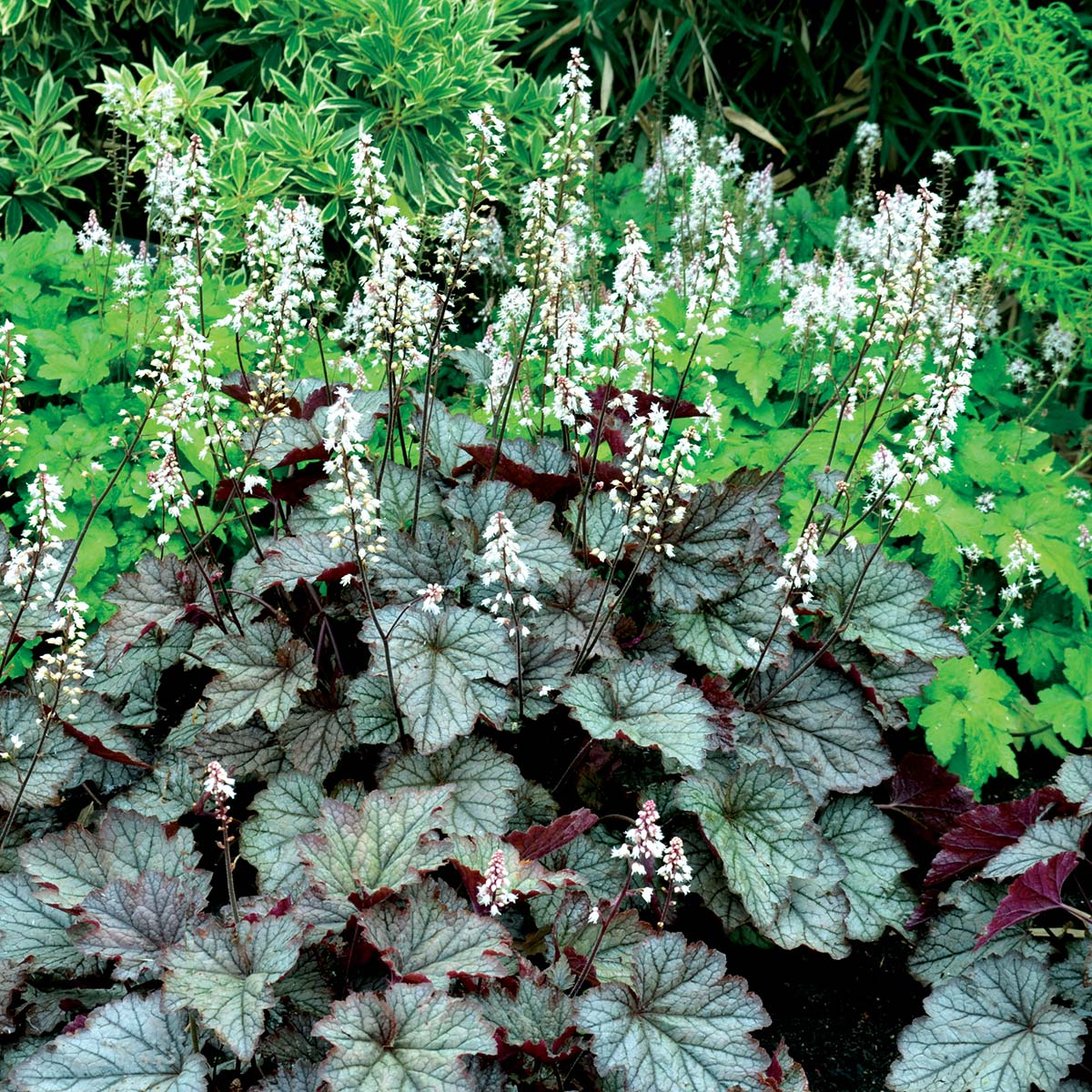 Heucherella 'Twilight'