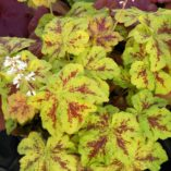 Heucherella 'Yellowstone Falls'