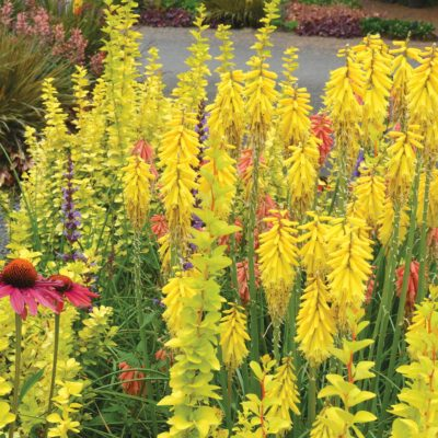 Kniphofia 'Lemon Popsicle'