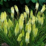 Kniphofia 'Pineapple Popsicle'