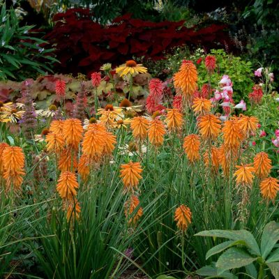 Kniphofia 'Poco Orange'