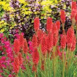 Kniphofia 'Redhot Popsicle'