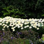 Leucanthemum 'Luna'