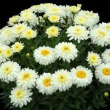 Leucanthemum 'Macaroon'