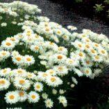 Leucanthemum 'Paladin'