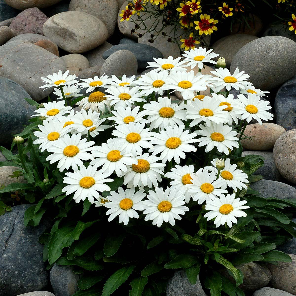 Leucanthemum 'Snowbound'