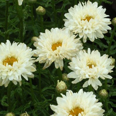 Leucanthemum 'Victorian Secret'