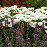 Leucanthemum 'Victorian Secret'