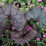 Ligularia 'Britt-Marie Crawford'