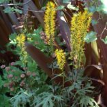 Ligularia 'Dragon's Breath'