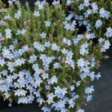 Lithodora 'Crystal Blue'