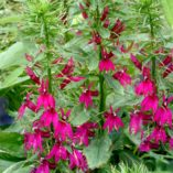 Lobelia 'Cranberry Crown'