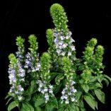 Lobelia 'Lilac Candles'