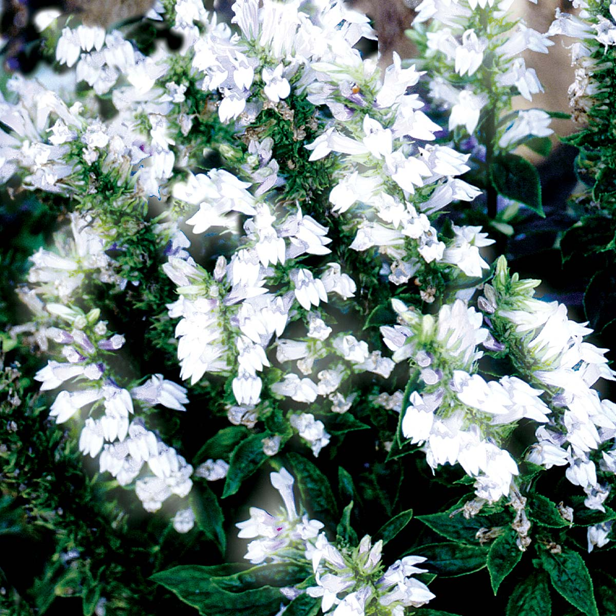 Lobelia 'White Candles'