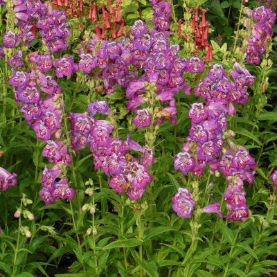 Penstemon 'Blueberry Taffy'