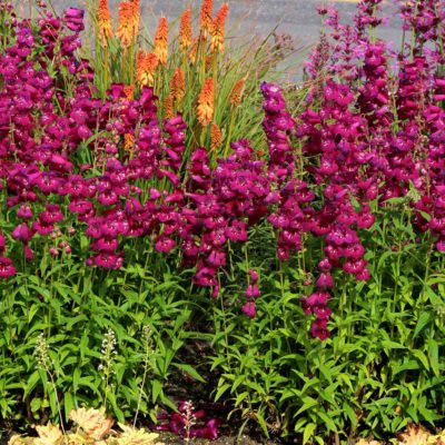 Penstemon 'Boysenberry Taffy'