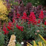 Penstemon 'Cha Cha Cherry'