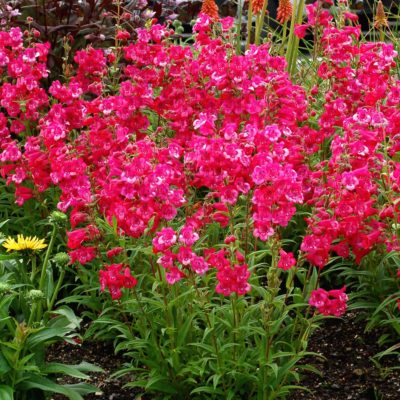 Penstemon 'Cha Cha Hot Pink'
