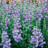 Penstemon 'Cha Cha Lavender'