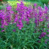 Penstemon 'Cha Cha Purple'