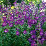 Penstemon 'Cha Cha Purple'
