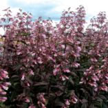 Penstemon 'Dark Towers'
