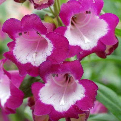 Penstemon 'Grape Taffy'