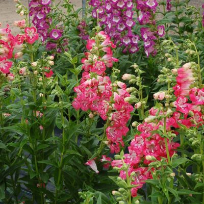 Penstemon 'Strawberry Taffy'