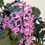 Plectranthus 'Velvet Elvis'